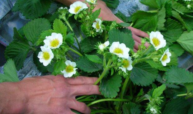 Вирощування полуниці, скріншот з відео