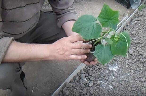 Выращивание огурцов, скриншот