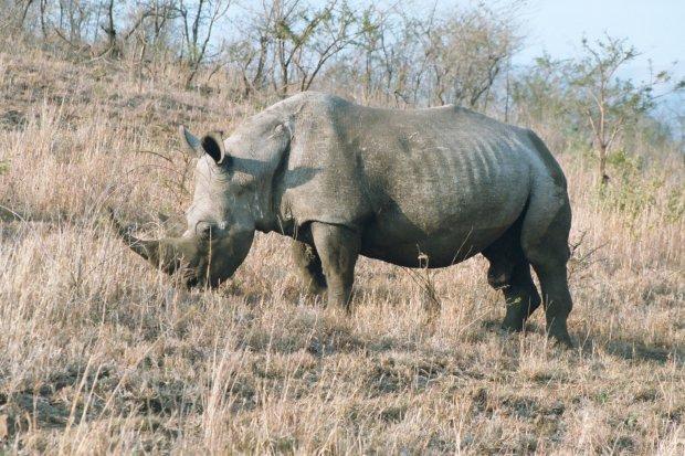 Прощай, Тэм: в Малайзии умер уникальный носорог