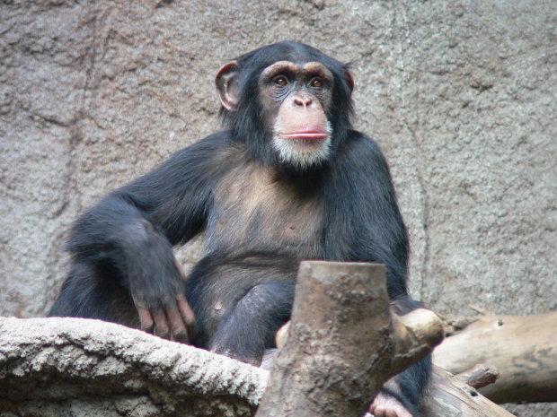 Дарвін був правий: в Україні живе мавпа, яка дуже схожа на людину