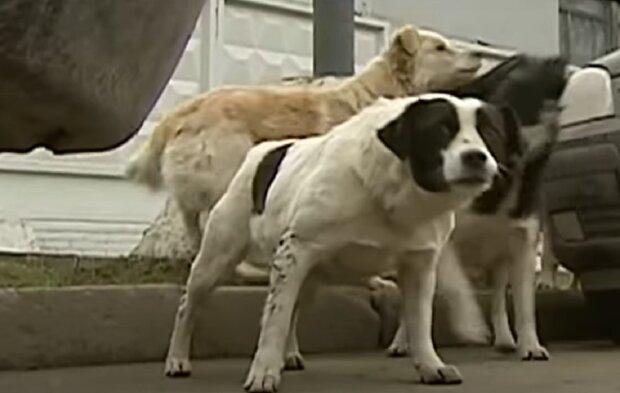 Бродячі пси, зображення ілюстративне, кадр з відео: YouTube
