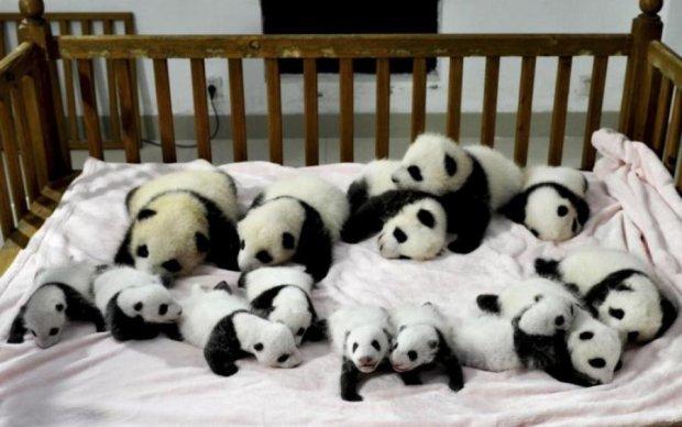 Порция позитива: 40 крошечных панд собрали в одном видео