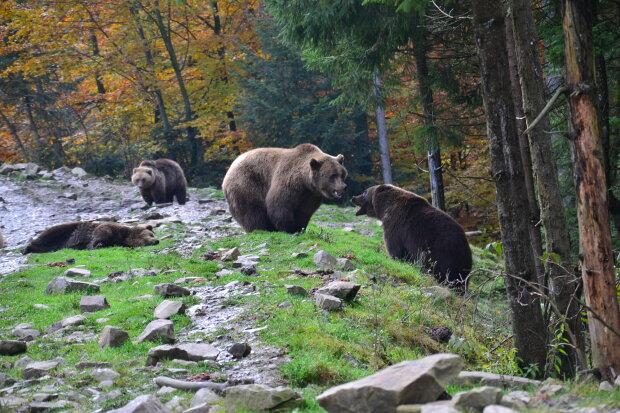 Ведмеді, Gromada