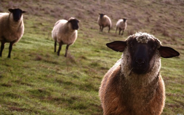"""Скандальних овець, які тижнями вмирали з голоду, вирішили """"врятувати"""" смертю"""
