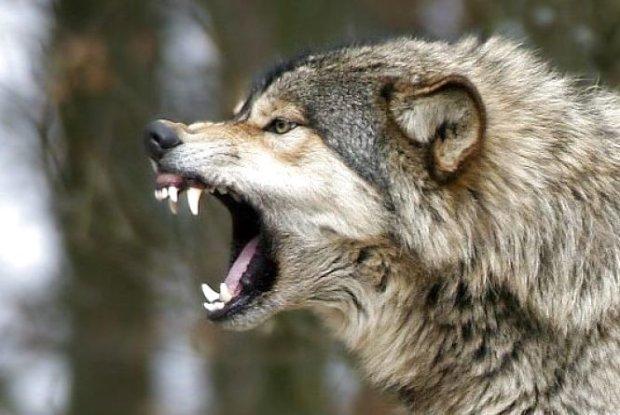 Вовки атакують Херсонщину: хижаки масово крадуть худобу, сказ витає у повітрі по всій області