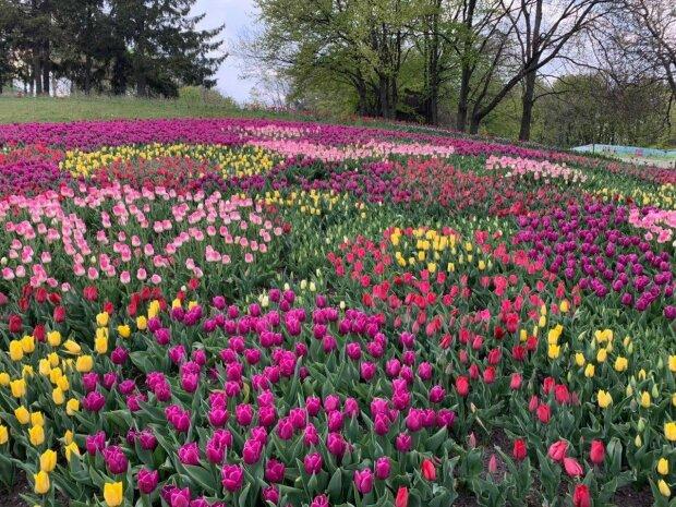 У Києві на Співочому полі зацвіли тюльпани - яскраве море і неймовірний аромат, ви закохаєтесь в ці фото