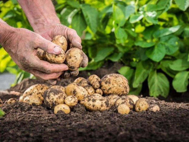 Український фермер створив унікальний метод посадки картоплі, білоруси про таке і не мріяли: відео
