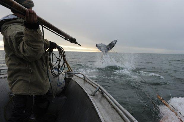Япония решила снова охотиться на китов: нужно больше жира