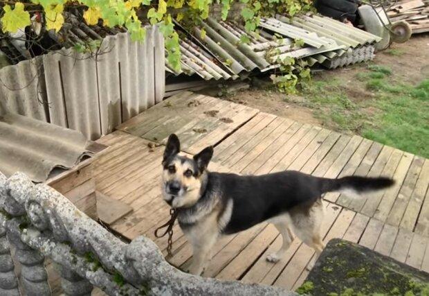 На Львівщині вівчарка напала на дворічного хлопчика