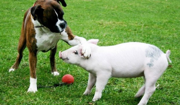 Вчені довели, що свині розумніші за собак