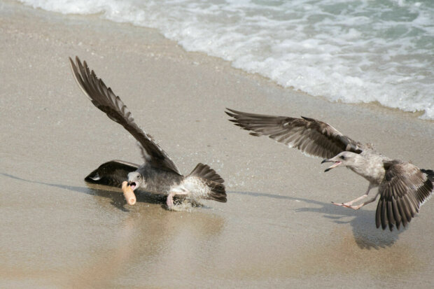 Фалос став причиною запеклої бійки чайок на пляжі, захоплюючий поєдинок потрапив на камеру фотографа