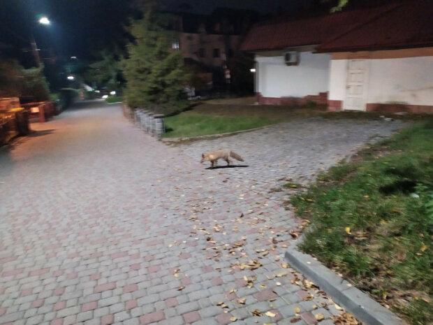 """На Львовщине хитрая лиса оккупировала вокзал: """"Ждет поезд?"""""""