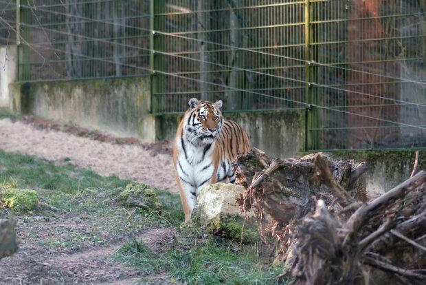 Похід до зоопарку міг закінчився фатально: тигр накинувся на малюка, момент потрапив на камеру
