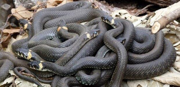 Украина страдает от нашествия змей: трое укушенных во Львовской области за сутки