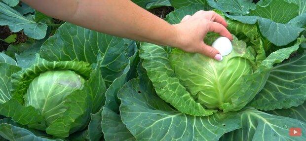 Капуста, фото: скриншот из видео
