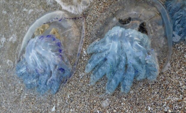 медузы в Черном море, фото 0629.com.ua