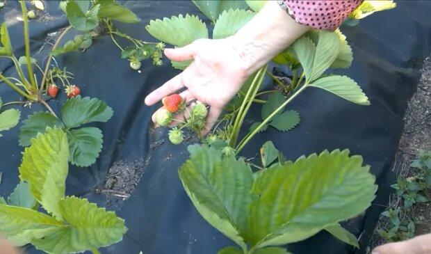 Полуниця, скріншот із відео