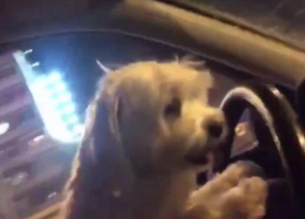 Собака за кермом, кадр з відео