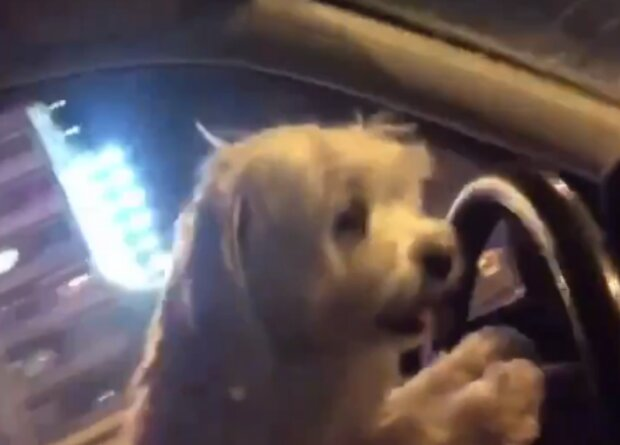 Собака за рулем, кадр из видео