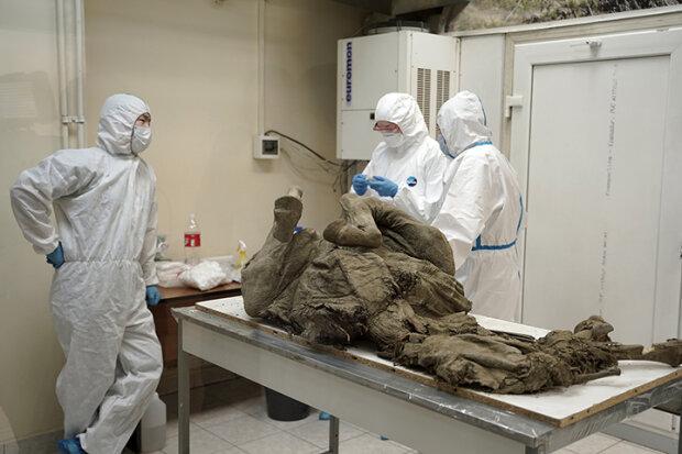 Вчені беруть зразки у 4500-річного верхоянського коня, фото: NEFU Press Service