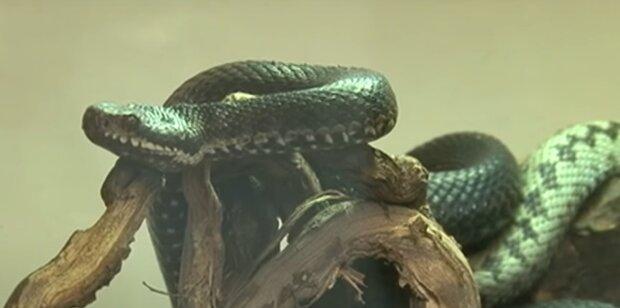 Франківщину окупують повзучі тварюки — змія вирішила оселиться в житловому будинку