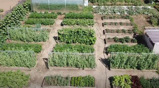 Найкраще добриво для городника: зробіть ваші кабачки стиглими і смачними