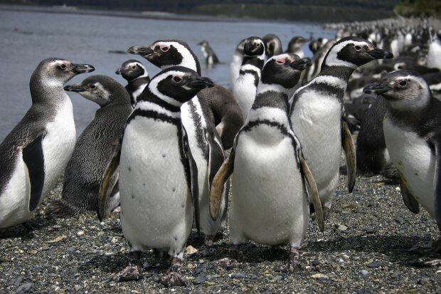 Пінгвін. Фото: Вікіпедія.