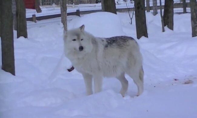 На Хмельниччині села тероризують вовки, скріншот із відео