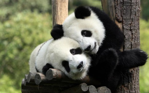 Порция позитива: крошечные панды взорвали сеть своими развлечениями