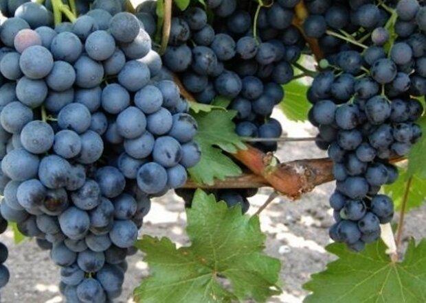 Вирощування винограду, скріншот: YouTube