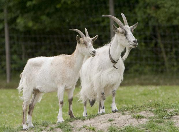 В Днепре коза съела все, над чем трудилась невеста: не свадьба, а сплошное расстройство