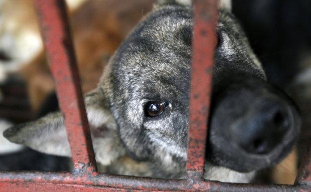 Вісім років відправляли на м'ясо: активісти врятували сотні собак від жахливої долі