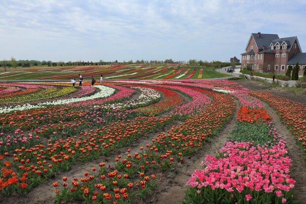 Добропарк, поле тюльпанів, фото: Знай.ua