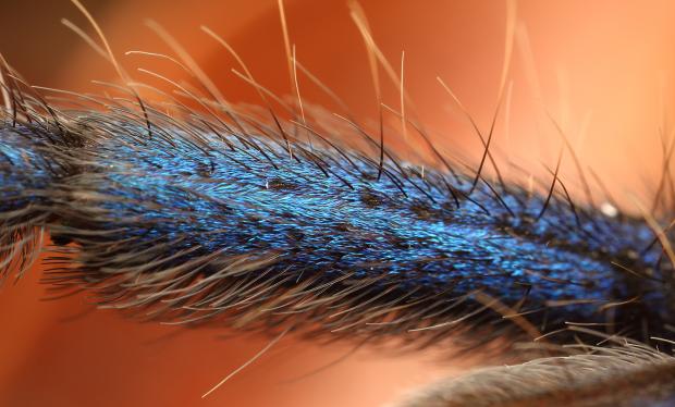 Синеногий птицеед: в Малайзии обнаружили самого красивого паука в мире