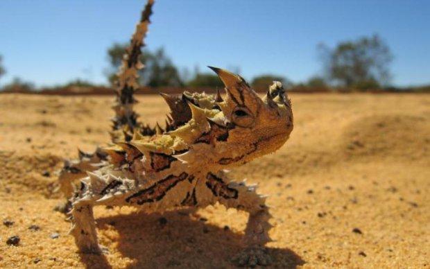 Ящерицы помогут добывать воду в пустынях