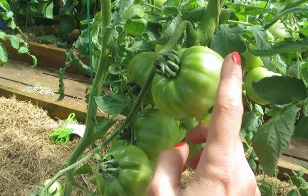 Помидоры - бомба! Как вырастить сочные овощи, ловите секретный метод
