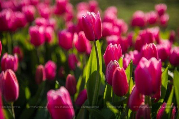 У Харкові відкрили виставку із 45 тисяч тюльпанів