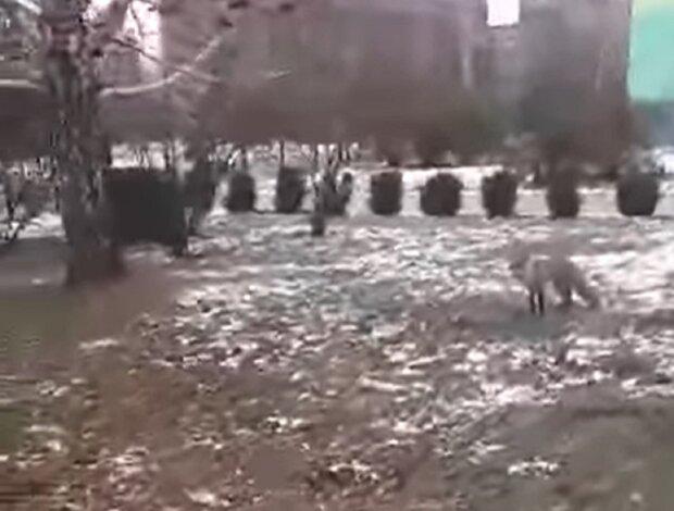 Лиса в Переяславе, кадр из видео: Facebook Анжелика Ясинская