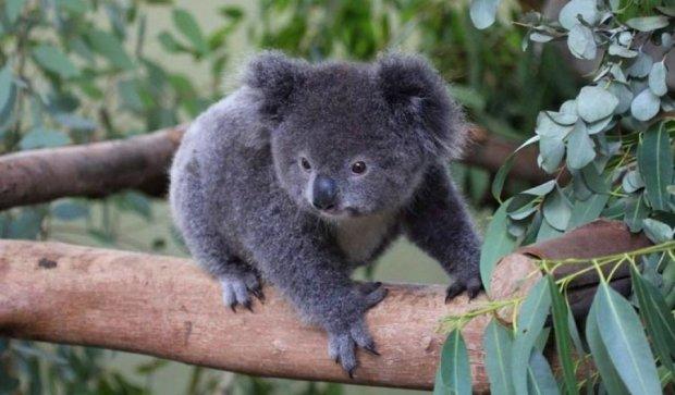 Новонароджене дитинча коали зворушило соцмережі