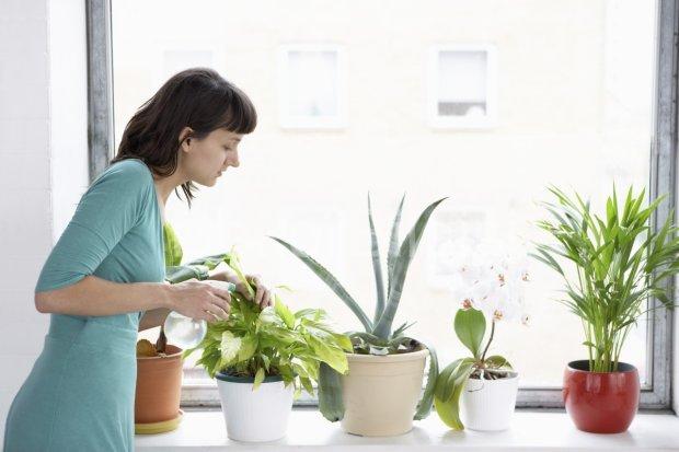 Ця рослина стане незамінним помічником у вашому домі: загоює рани, очищає, зволожує