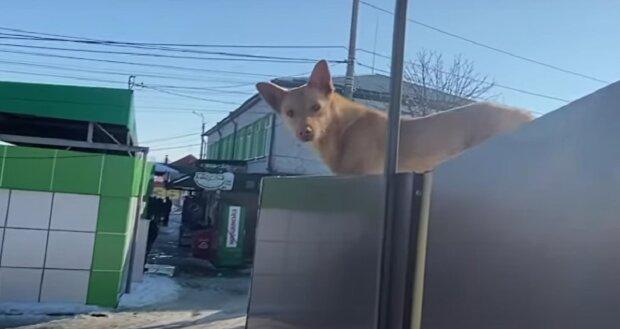 Пес оселився на даху магазину, кадр з репортажу ТСН: YouTube
