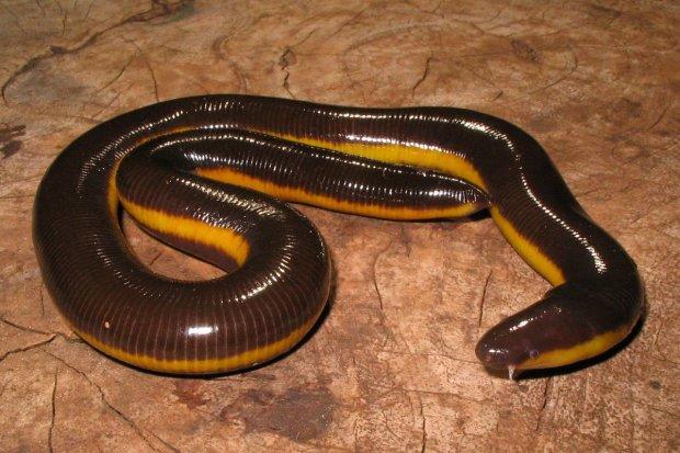 Чи то змія, чи то черв'як: науковці показали жахливу істоту, яка заселила нашу планету
