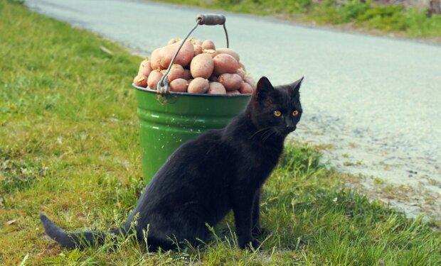Кот и картошка, фото: Getty Images