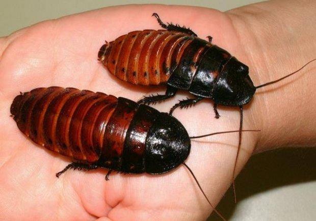 Брошенным любовникам предлагают опекать тараканов