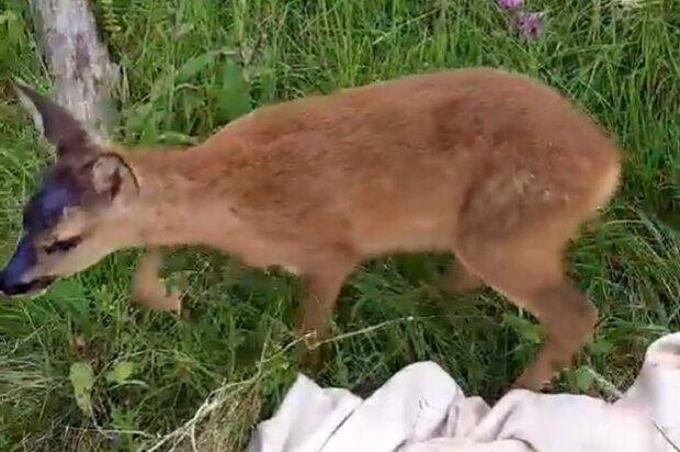 На Франковщине бродячие псы чуть на загрызли перепуганную малютку — залечили раны и выпустили в лес