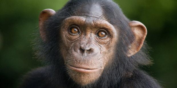 Шимпанзе втік із зоопарку Белфаста. Відвідувачі в захваті від його кмітливості і винахідливості