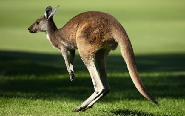 Збочені кенгуру показали водіям недитячий майстер-клас