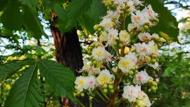 У Дніпрі каштани переплутали жовтень з травнем і зацвіли, як навесні
