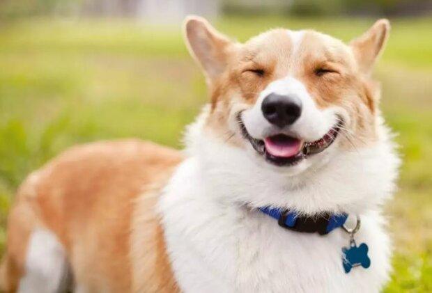 Фото від молодо фотографа собаки коргі, фото: sm-news