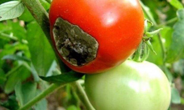 Избавьтесь от вершинной гнили помидоров раз и навсегда: простой и проверенный способ
